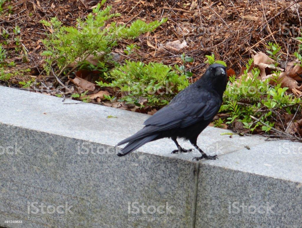 Raven royalty-free stock photo