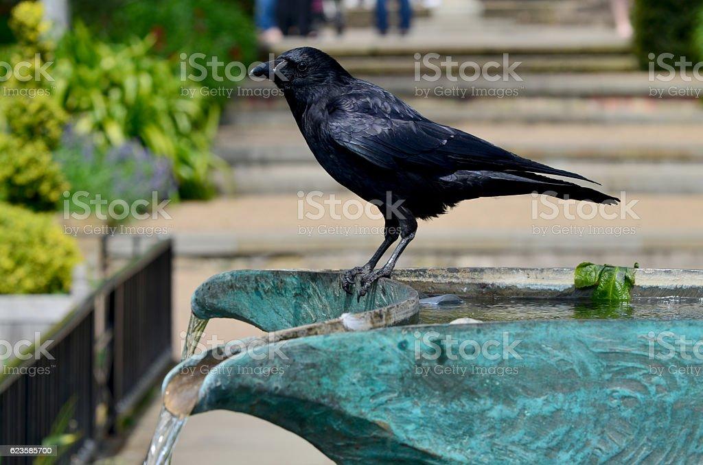 raven sitting on a fountain stock photo