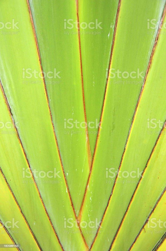 Ravenala madagascariensis, Traveler's Palm - detail of the fan stem stock photo