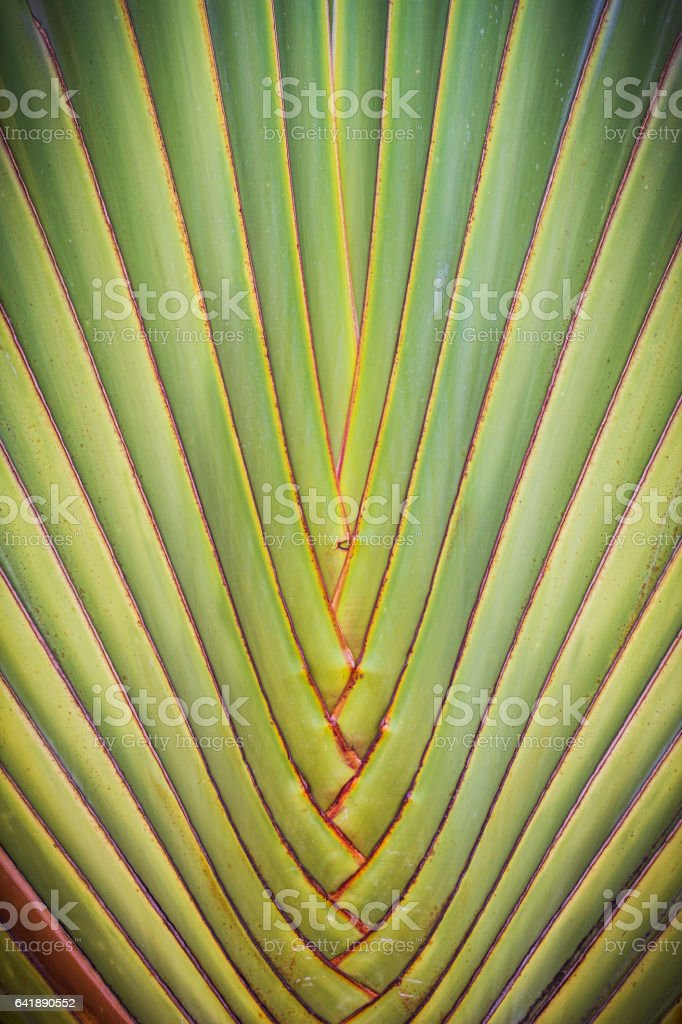 Ravenala palm called also travelers tree, Texture and background. stock photo