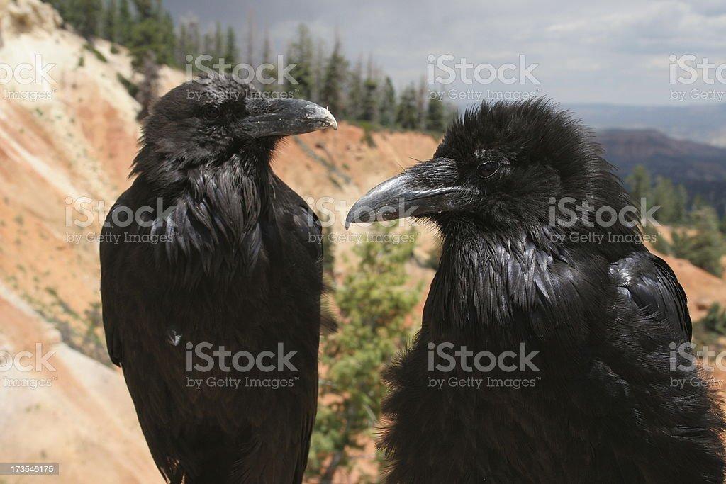 Ravens at Bryce Canyon royalty-free stock photo