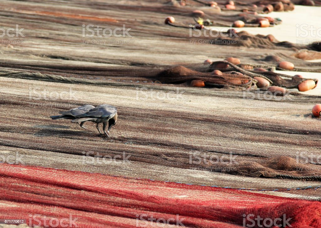 Ravens looking for small fish in fishing nets stock photo