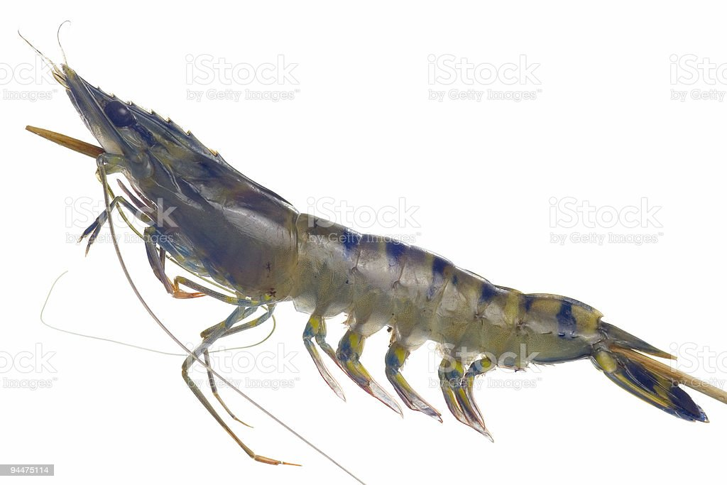 Raw black tiger prawn on a skewer royalty-free stock photo