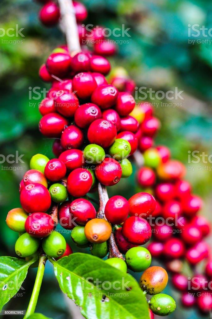 Raw coffee bean on coffee tree plantation in Thailand stock photo