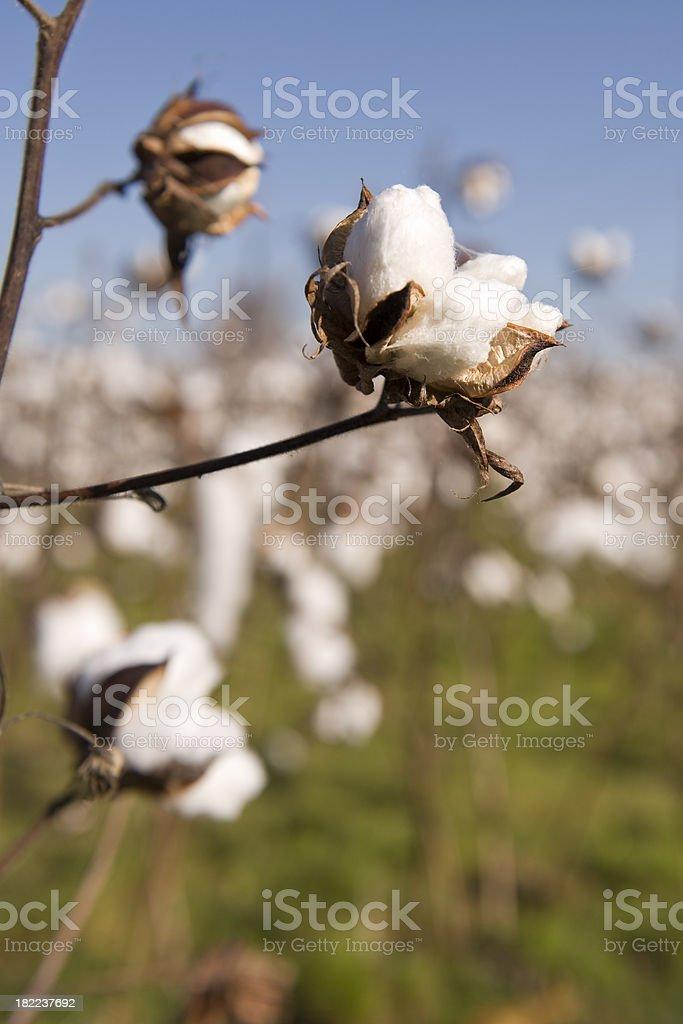 Raw Cotton Ball stock photo