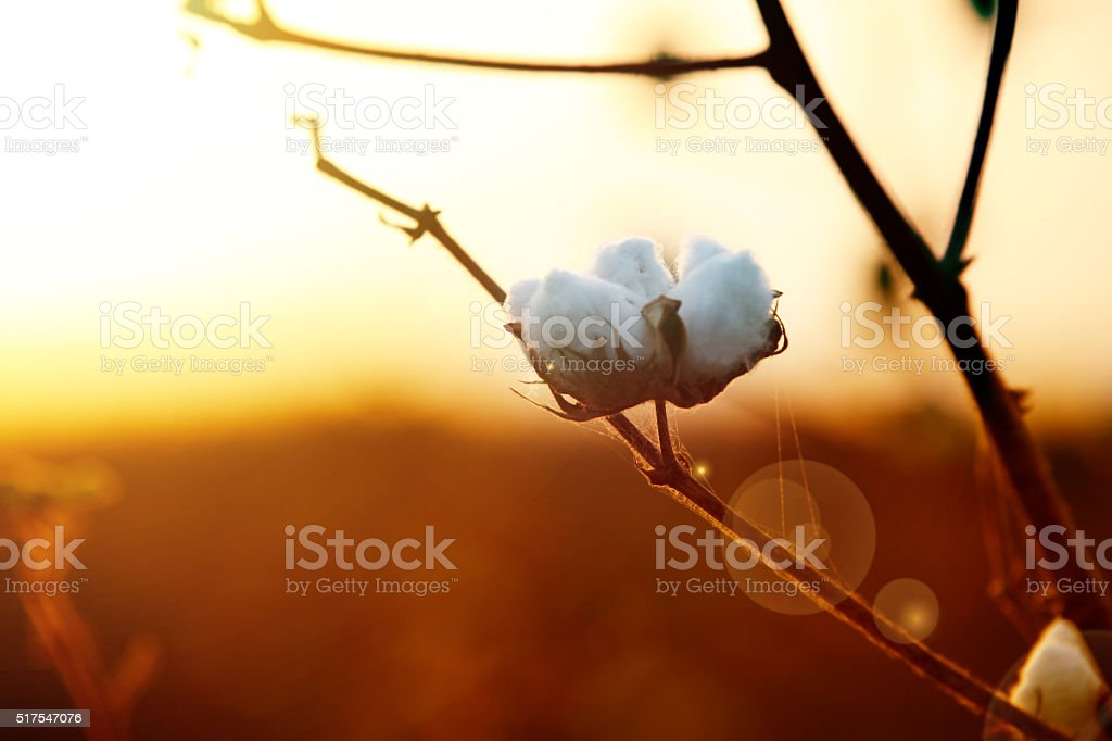 Raw Cotton stock photo
