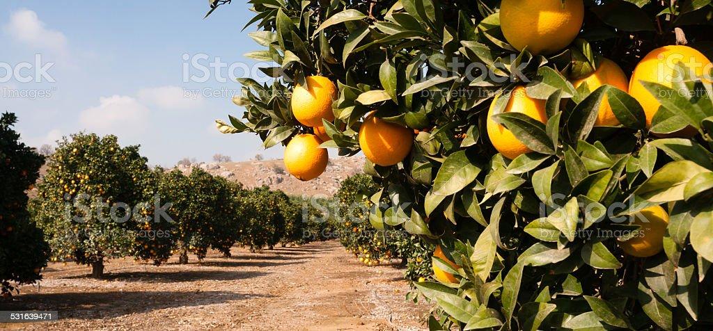 Raw Food Fruit Oranges Ripening Agriculture Farm Orange Grove stock photo
