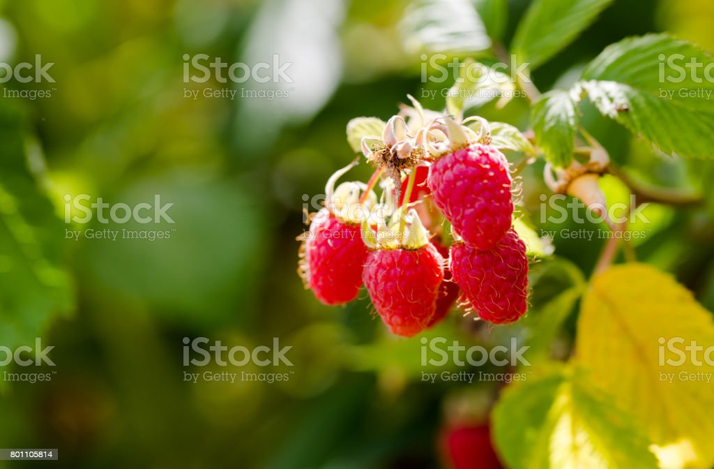 Raw juicy pink raspberries on branch in orchard close up stock photo