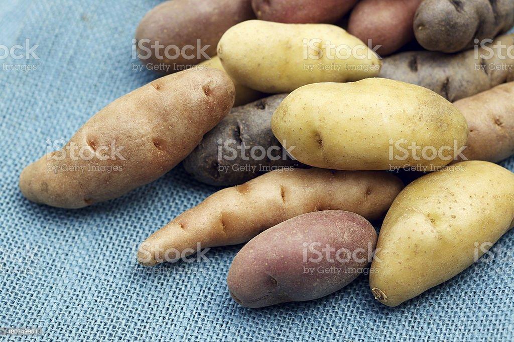 Raw multi-colored fingerling potatoes on blue burlap stock photo