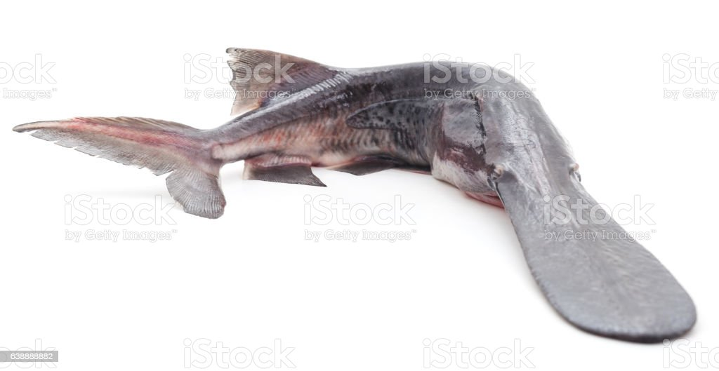 Raw paddlefish. stock photo