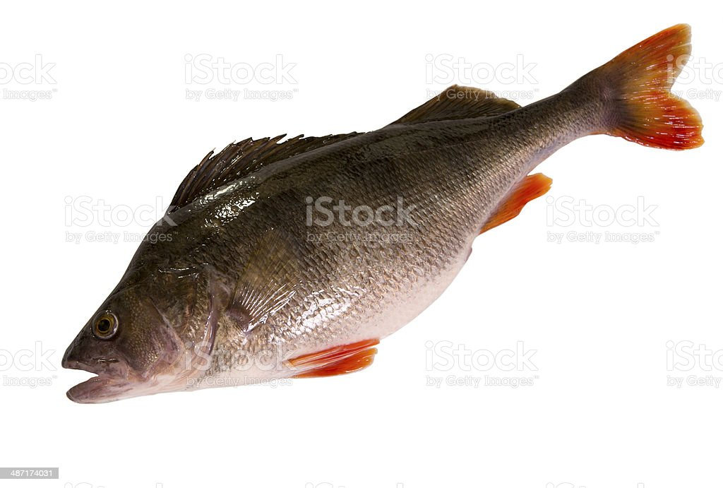Raw perch isolated on white background. royalty-free stock photo
