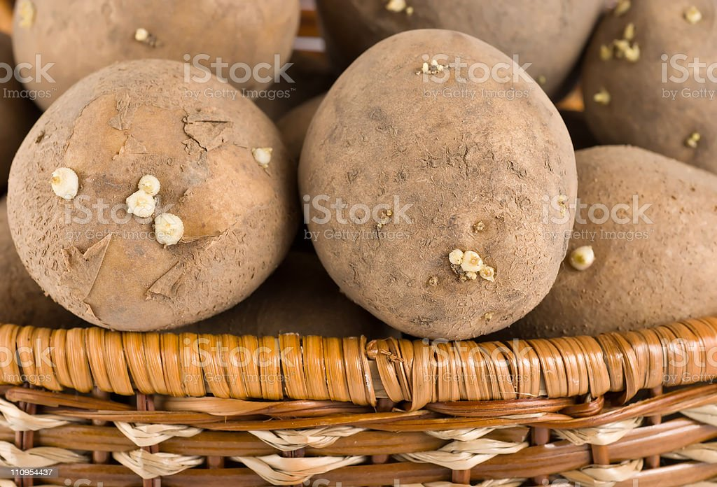 Raw potatoes in wooden basket royalty-free stock photo