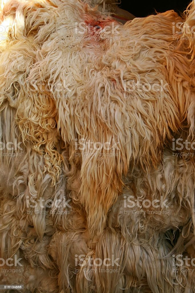 raw sheep wool stock photo