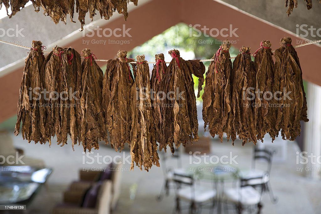 Raw tobacco royalty-free stock photo