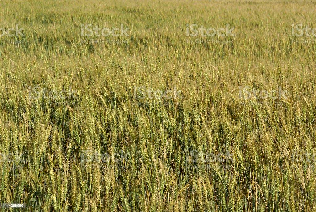 raw wheat royalty-free stock photo