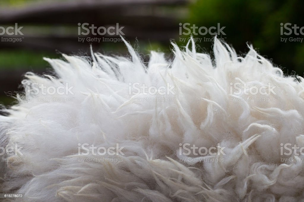 Raw wool background. Also softness, warmness concept. stock photo