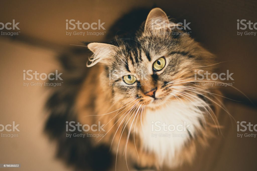 ray cat with green eyes. Gray cat. Striped not purebred kitten. stock photo