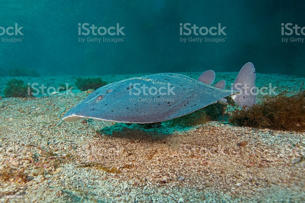 Ray swimming at California underwater reef stock photo