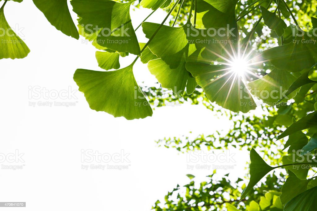 Ray Through Ginkgo Leaves stock photo