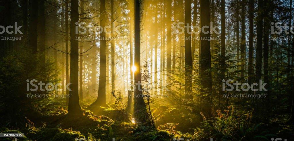 Rays of golden sunshine streaming through idyllic forest glade panorama stock photo