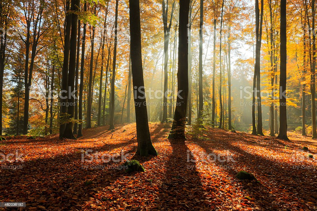 Rays of light in autumn forest stock photo