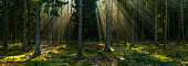 Rays of sunlight shining through the forest canopy woodland panorama