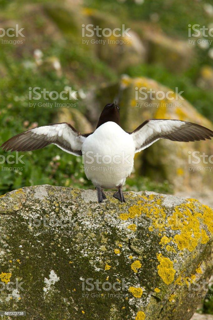 Razorbill about to take flight stock photo