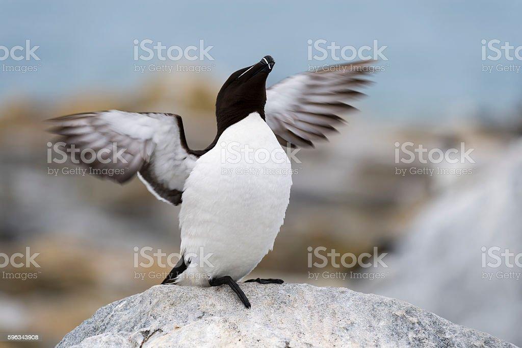 Razorbill, Alca Torda, spreading wings stock photo