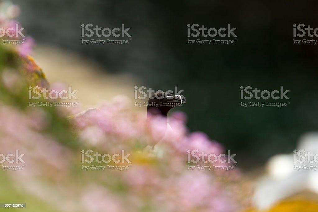 RazorBill bird behind wild flowers stock photo