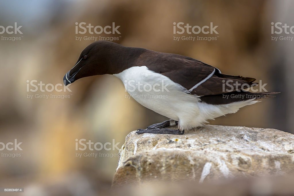 Razorbill looking down from rock stock photo
