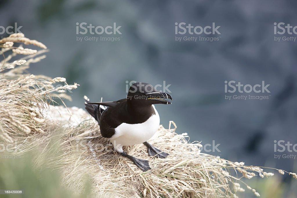Razorbill on cliff ledge stock photo