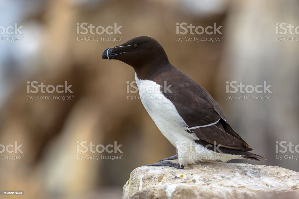 Razorbill on rock stock photo