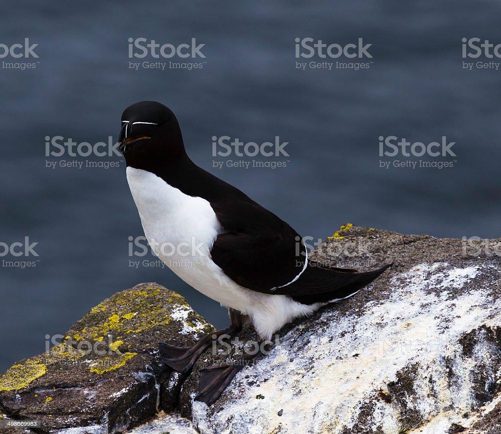 Pingouin torda photo libre de droits