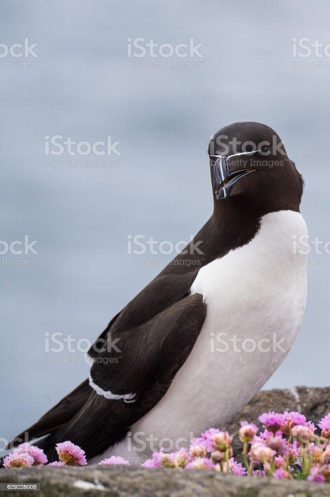Razorbill stock photo