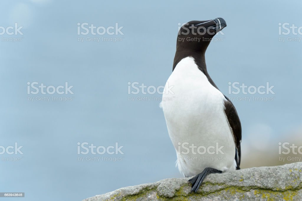 Razorbill (Alca torda) stock photo