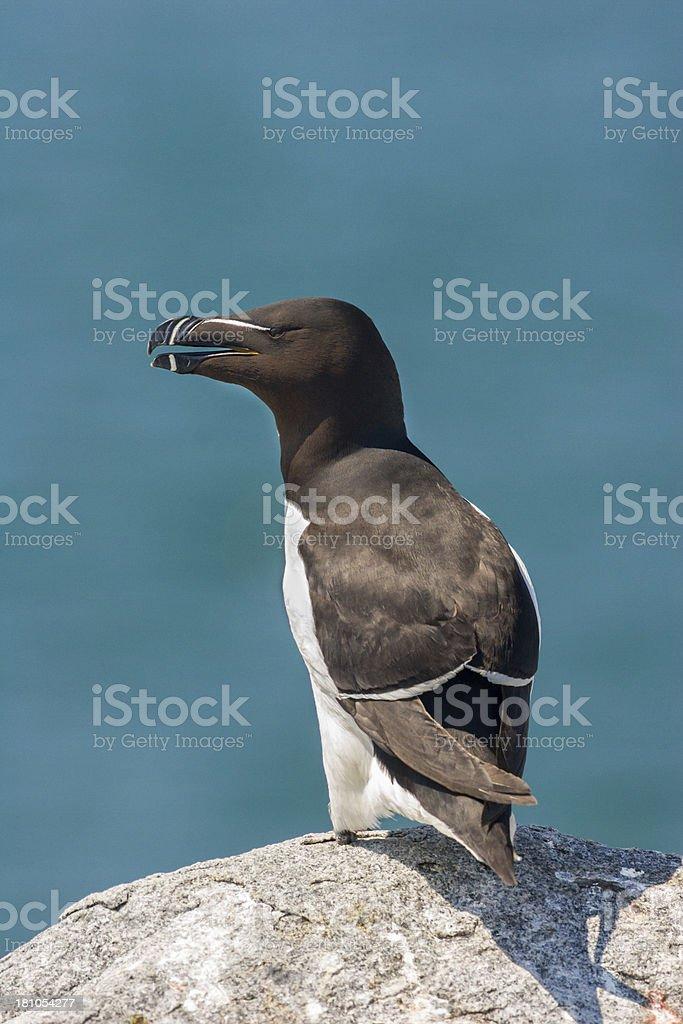 Razorbill sea bird stock photo