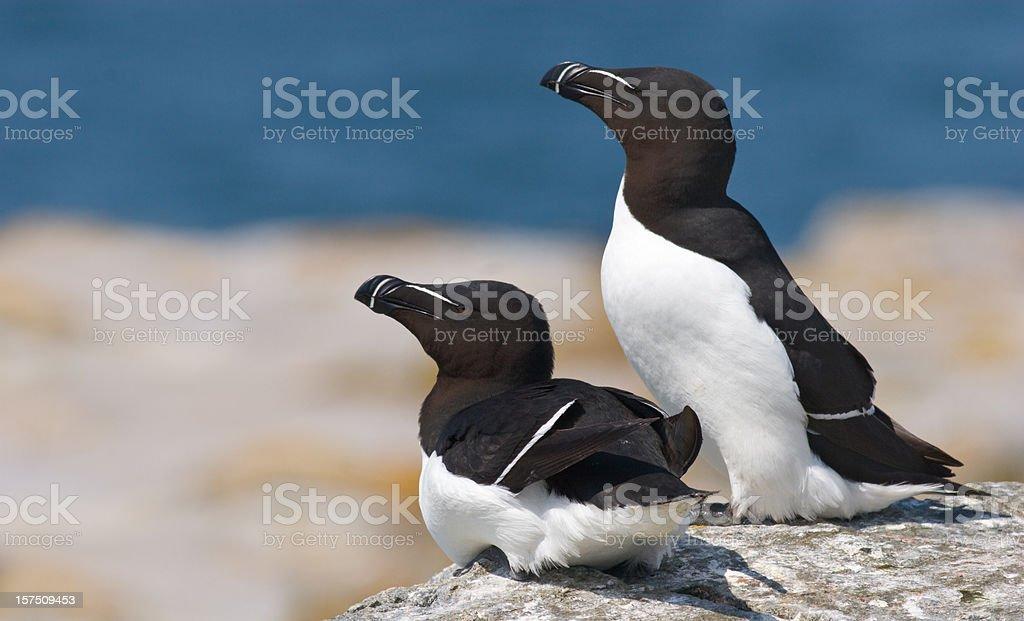 Razorbill Seabirds stock photo