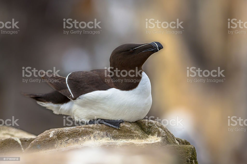Razorbill sitting on rock stock photo