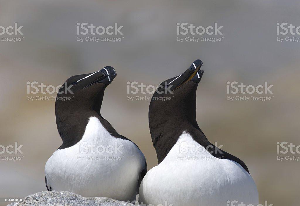 Razorbills at Machias Seal Island stock photo