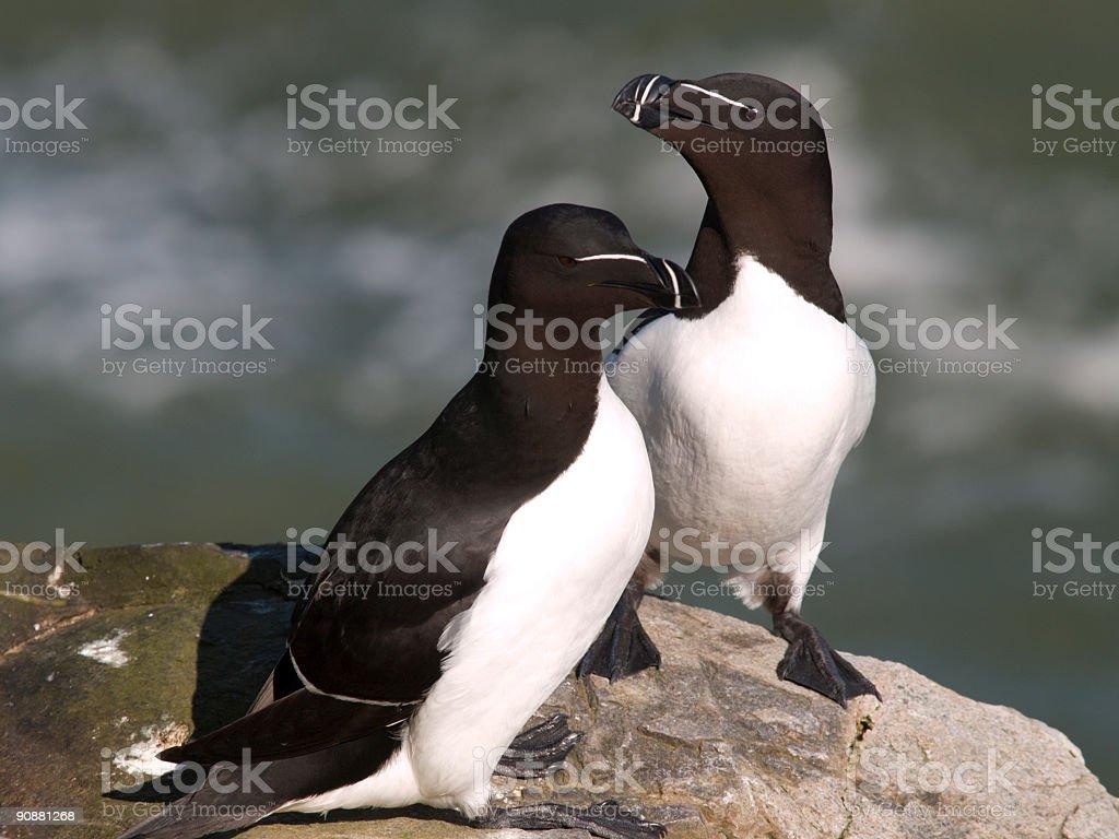 Razorbills (Alca torda), Scotland stock photo