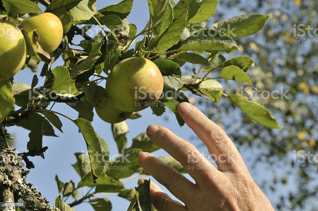 Reaching for an Apple royalty-free stock photo