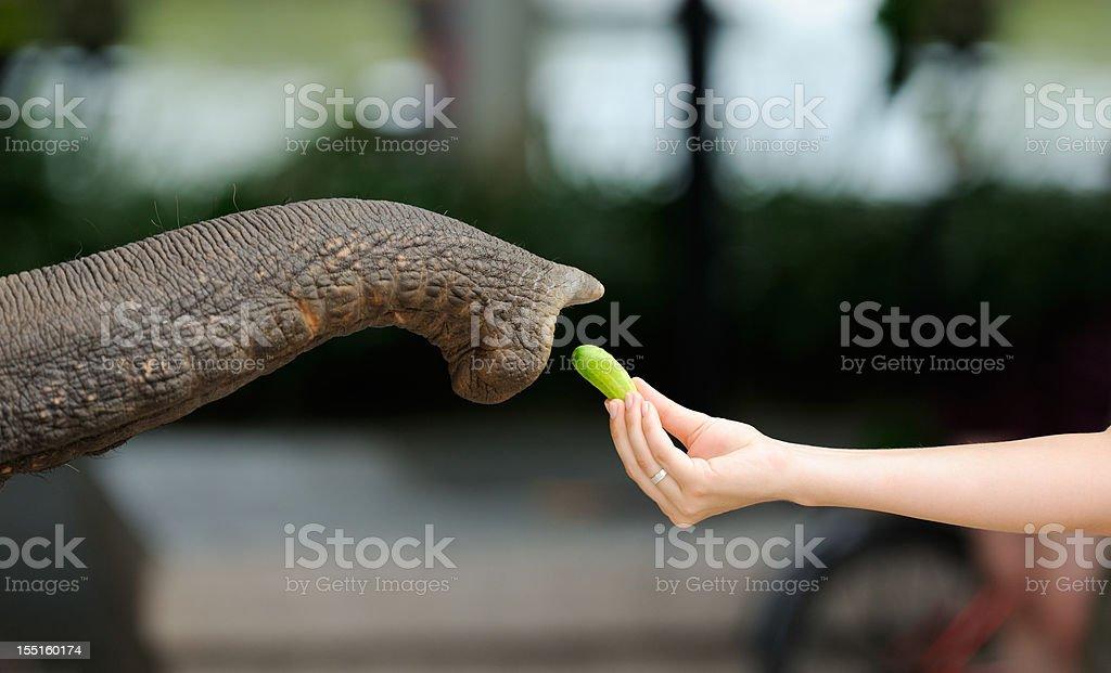 Reaching for Food - Feeding an Elephant (XXXL) stock photo