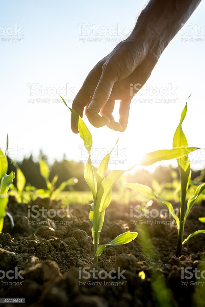 Reaching for young maize plant stock photo