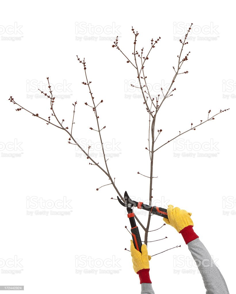 Reaching up to trim a tree royalty-free stock photo