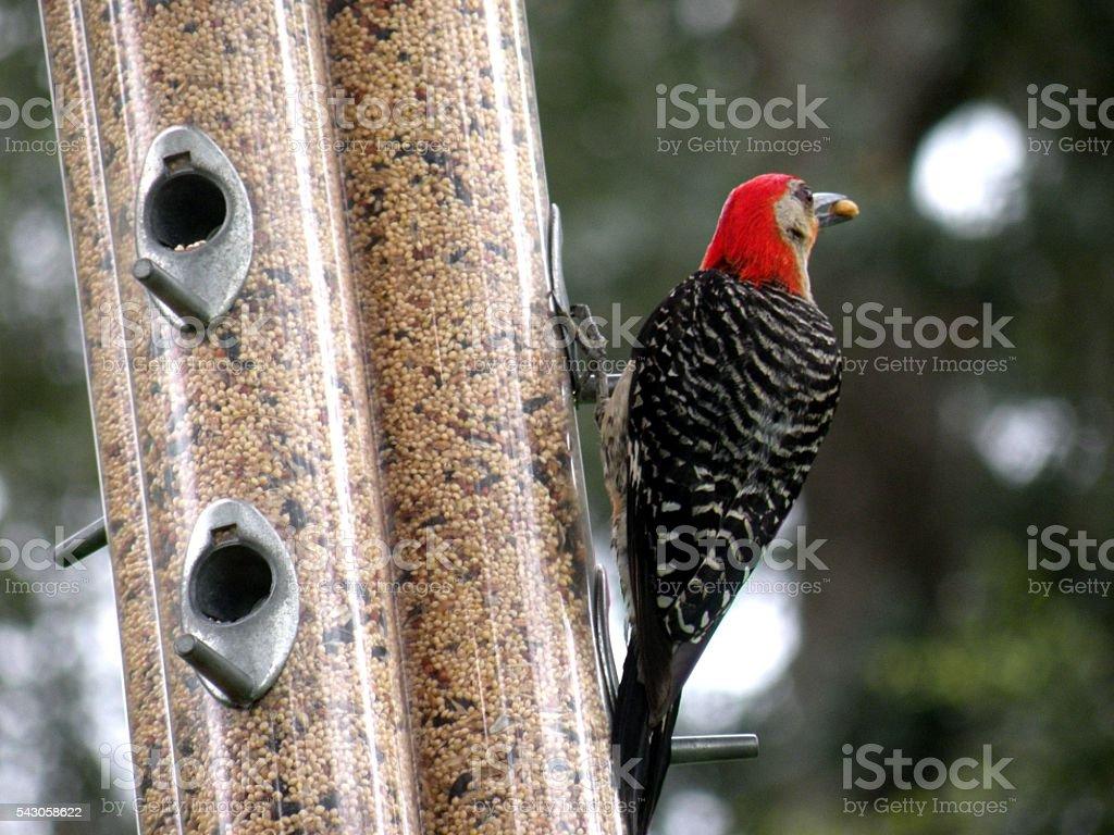 read head bird eating corn stock photo