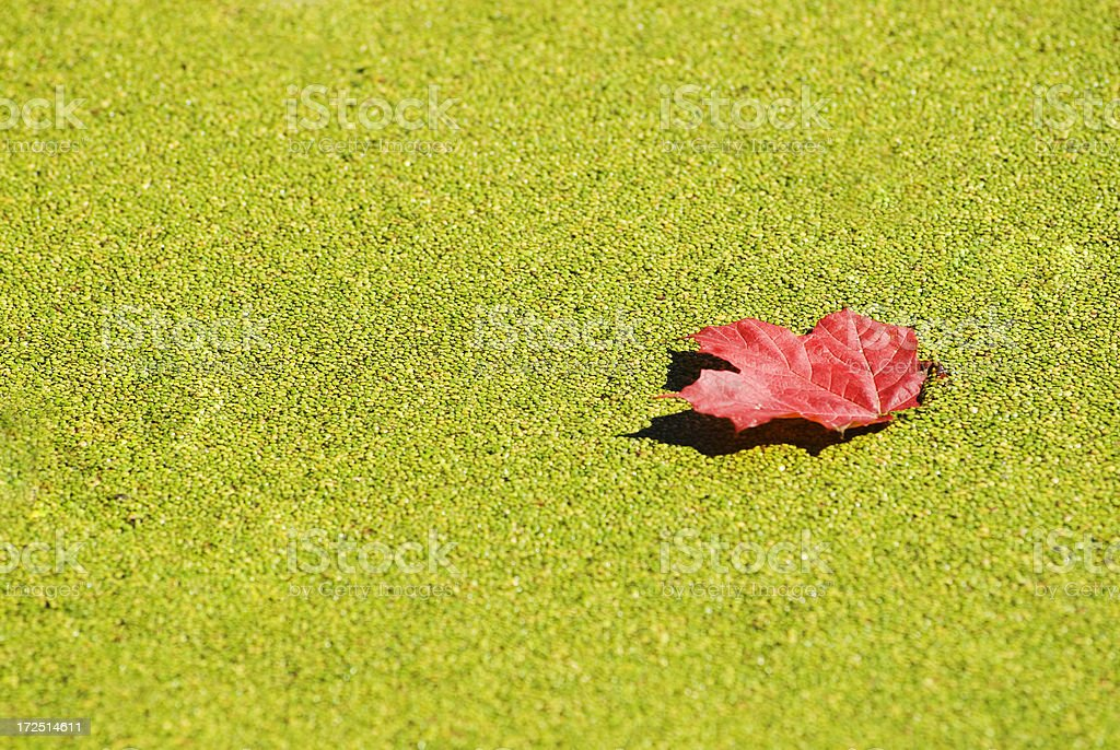 Read Maple leaf in the pond stock photo