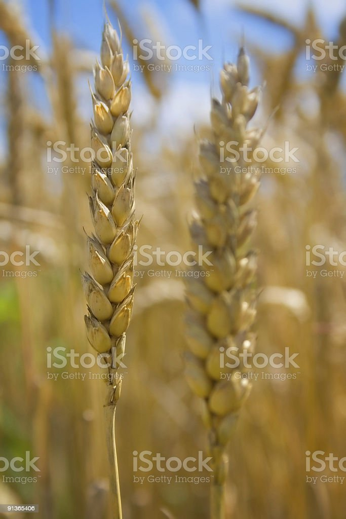 Ready for harvest royalty-free stock photo
