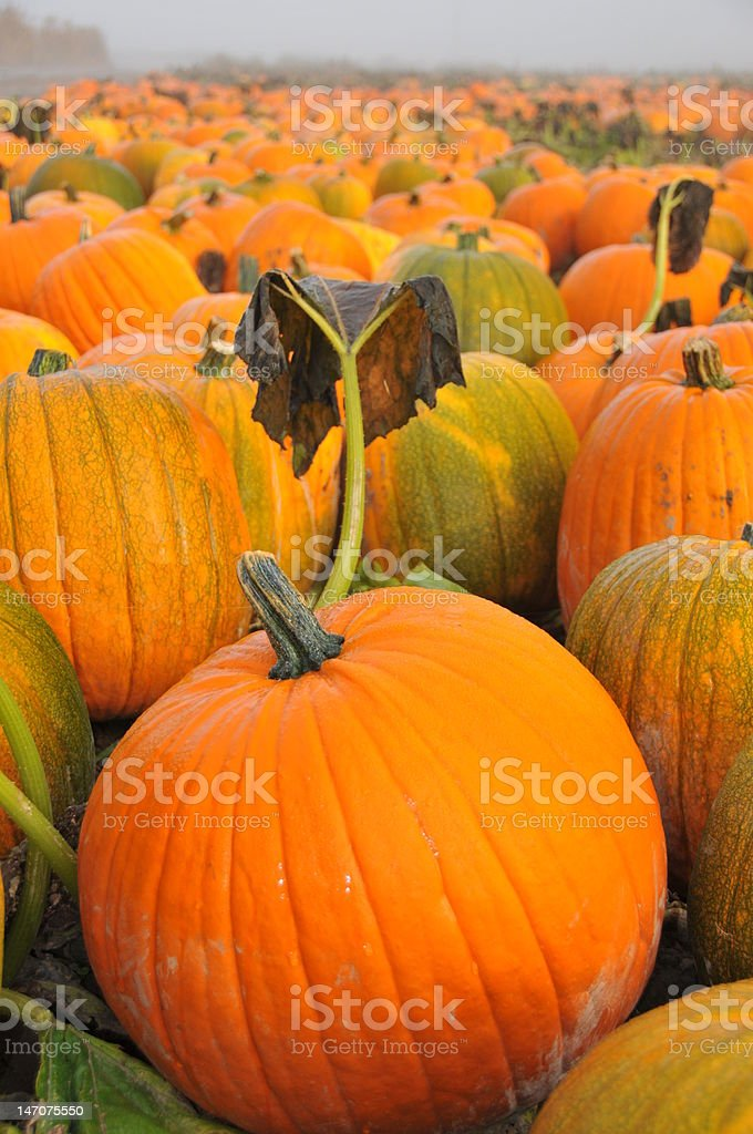 Ready for Picking  in the Pumpkin Patch stock photo