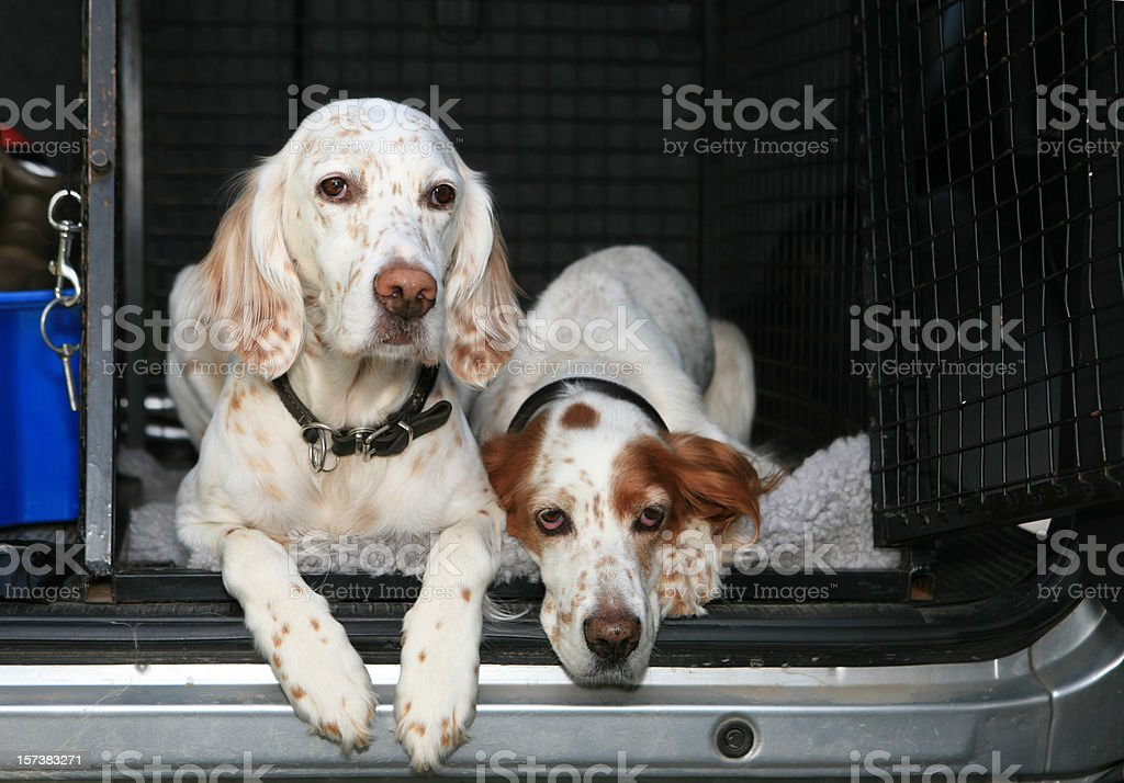 Ready To Go ! Two dogs in a car English Setter royalty-free stock photo