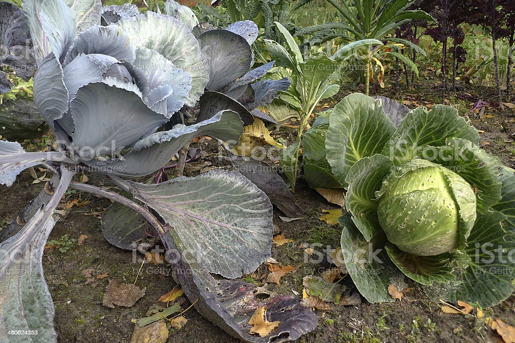 Ready to harvest cabbage royalty-free stock photo